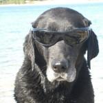 Labrador mit Sonnenbrille, Hund Luna der Autorin Michaela Seul, flipper-privat.de