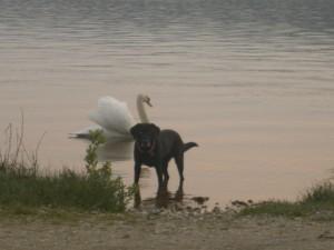 Hund Luna mit einem am Schwan am Starnberger See, flipper-privat.de