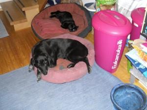 Eine Katze schläft im Hundekorb und Labrador Luna lässt es sich gefallen, weil sie ein braver Hund ist, flipper-privat.de