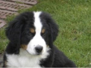 Kleiner Hund, Bernersennen-Welpe, flipper-privat.de