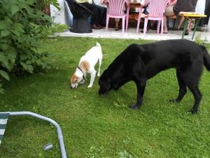 Hunde schnuppern im Gras, Luna und ihre Freundin, flipper-privat.de