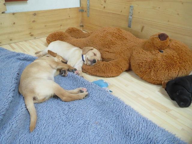 Labradorwelpen und ihr Teddybär, Hunde sind satt und müde, flipper-privat.de