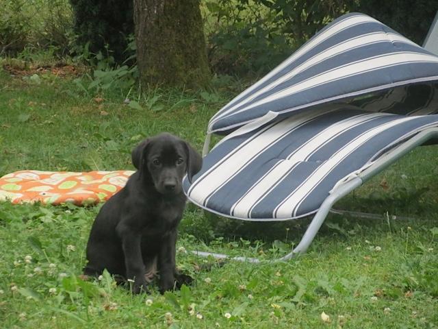 Labradorwelpe vor Liegestuhl im Garten, Miss Lomax ist süß, flipper-privat.de