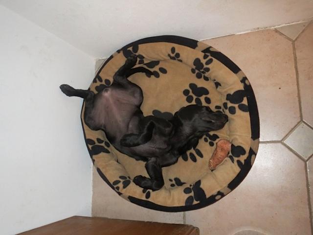 Hund in Rückenlage, wälzt sich in seinem Korb, Hund Miss Lomax zeigt Bauch, flipper-privat.de