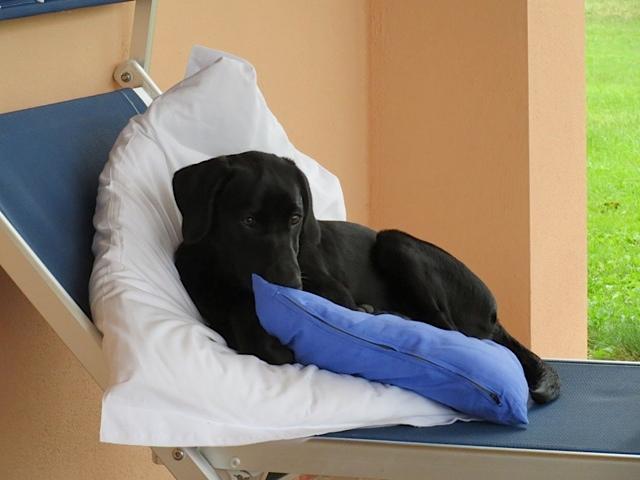 Labrador Miss Lomax im Liegestuhl, Hund kuschelt gern, flipper-privat.de