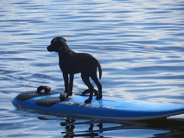 Hund auf Surfbrett, Miss Lomax am Bolsena See, Hunde können schwimmen, flipper-privat.de