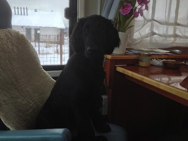 Hund an Schreibtisch, Flat Coated Rüde, Hundefreund von Luna,  flipper-privat.de