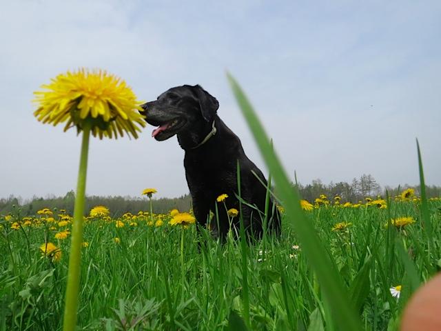 Hund Luna und Sonnenblume, flipper-privat.de