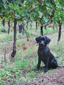 Hund und Weintrauben, Labrador Miss Lomax im Weinberg, flipper-privat.de