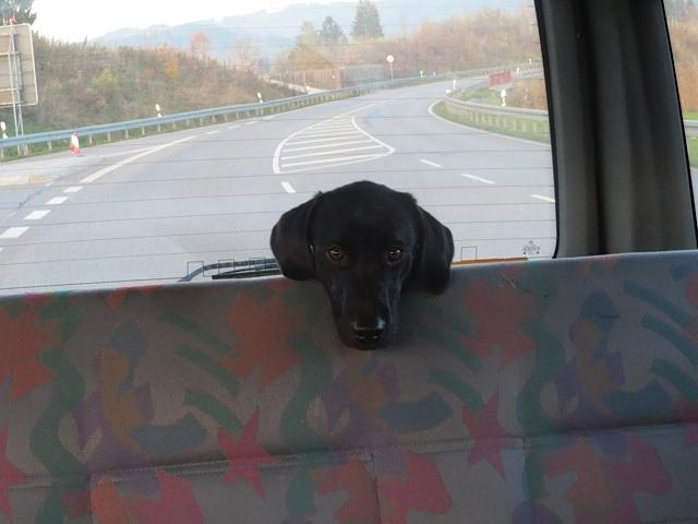 Kleiner Labrador fährt zum ersten Mal Auto, flipper-privat