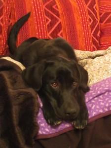 Hund auf Sofa, Labrador Miss Lomax der Autorin Michaela Seul darf auf die Couch, flipper-privat.de