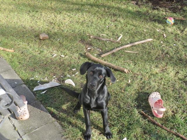 Wenn Hunden langweilig ist, Labrador Miss Lomax verwüstet Garten, flipper-privat.de