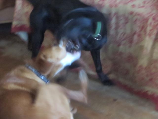 Hunde spielen miteinander, flipper-privat.de