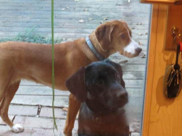 Hunde klauen Schlüssel, Labrador Miss Lomax ist klug, flipper-privat.de