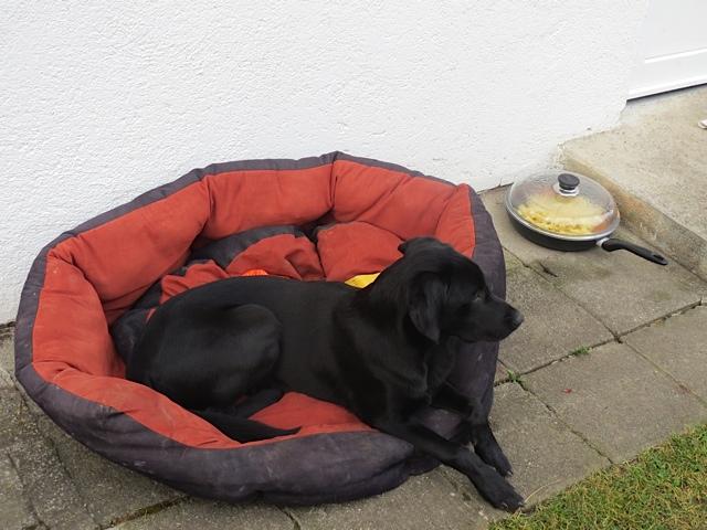 Hund klaut Essen muss nicht stimmen, Labrador Miss Lomax ist brav und bewacht das Essen von Frauchen, flipper-privat.de