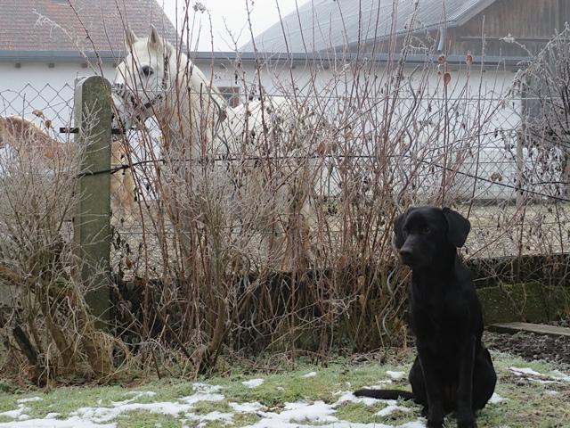 Der Labrador Miss Lomax hat keine Angst vor Pferden, auch nicht vor Schimmeln, obwohl er kein Reitbegleithund ist, flipper-privat.de