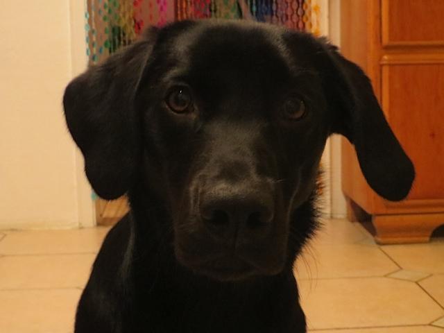 Hundeaugen sind Fenster zur Seele wie der Labrador Miss Lomax, Hund der Autorin Michaela Seul, hier zeigt, flipper-privat.de