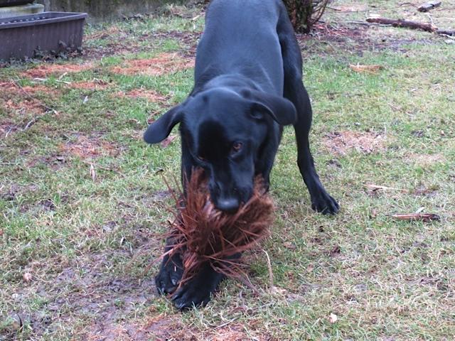 Labrador zerlegt einen Besen, Miss Lomax hat keine Angst, Hundespielzeug, flipper-privat.de