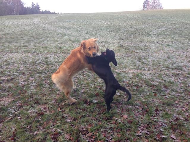 Die wollen nur spielen, Hunde toben über Wiese, der beißt nicht, flipper-privat.de