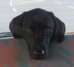Kleiner Labrador fährt Auto, Hund auf Rückbank, Miss Lomax ist niedlich, flipper-privat.de