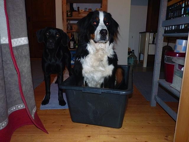 Wenn Hunde Probleme mit Treppen haben, Labrador Miss Lomax zeigt Mitgefühl, flipper-privat.de