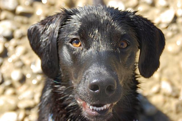 Schwarzer Labrador im Porträt, Miss Lomax am Starnberger See, schöner Hund, Labrador badet gern und führt einen Hundeblog unter www.flipper-privat.de