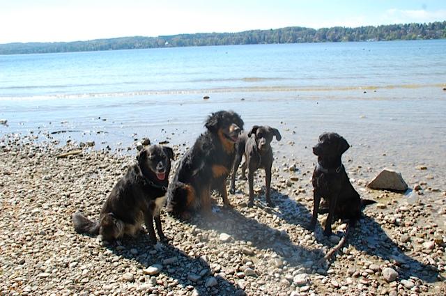 Hunderudel am Starnberger See, vier schwarze Hunde, die sich gut verstehen, brave Hunde, die gut folgen, siehe auch der Hundeblog unter www.flipper-privat.de