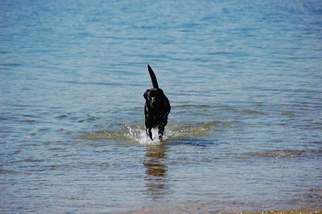 Labrador schwimmt gern im Starnberger See, Miss Lomax hat gute Laune und zeigt das mit erhobener Rute auch in ihrem Hundeblog www.flipper-privat.de