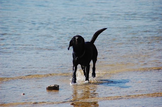 Labrador Miss Lomax am Starnberger See, Muse der Schriftstellerin Michaela Seul, die einen Hundeblog führt, unter www.flipper-privat.de, schüttelt sich