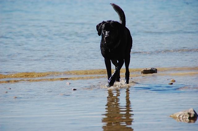 Hund als Strandläufer, ein schwarzer Labrador liebt das Wasser, er gehört zu der Schriftstellerin Michaela Seul und führt als ihre Muse Luna einen Hundeblog unter www.flipper-privat.de