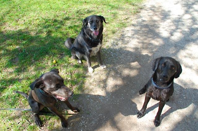 Drei schwarze Hunde bilden ein Hunderudel, dazu gehört Miss Lomax, die Muse der Autorin Michaela Seul, die auch einen Hundeblog führt unter www.flipper-privat.de