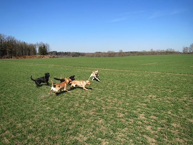 Hunde toben über eine Wiese, Labrador Miss Lomax mitten drin, flipper-privat.de