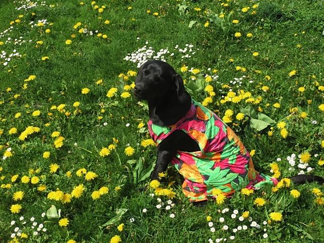 Der schwarze Labrador Miss Lomax, Muse der Schriftstellerin Shirley Michaela Seul, trägt ein buntes T-Shirt, das auch in einem der Fünfseenlandkrimis der Autorin vorkommt, die auch einen Hundeblog schreibt unter www.flipper-privat.de