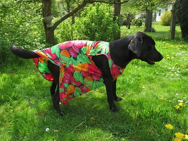 Trächtigkeit bei einem schwarzen Labrador oder trägt Miss Lomax nur ein T-Shirt ihrer Chefin, der Schriftstellerin Shirley Michaela Seul, deren Muse sie ist, weil sie Fünfseenlandkrimis schreibt und einen Hundeblog führt unter www.flipper-privat.de