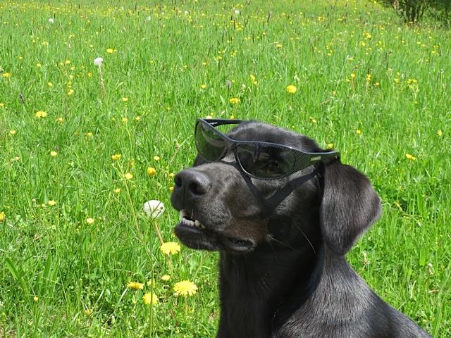 Hund mit Sonnenbrille namens Miss Lomax, er gehört zu der Schriftstellerin Shirley Michaela Seul, die Hundekrimis schreibt, Fünfseenlandkrimis und einen Hundeblog führt unter www.flipper-privat.de