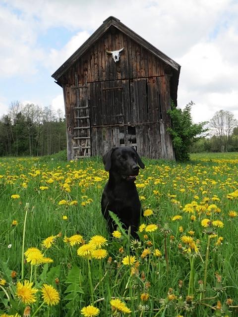 Die neue Hundehütte von Miss Lomax, deren Frauchen die Schriftstellerin Shirley Michaela Seul ist, die auch einen Hundeblog führt unter www.flipper-privat.de ist inmitten von Löwenzahn