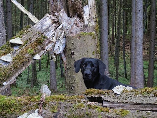 Wenn ein Blitz in einen Baum eingeschlagen hat, schaut auch Miss Lomax, der schwarze Labrador der Schriftstellerin Shirley Michaela Seul, der einen Hundeblog führt unter www.flipper-privat.de ein wenig erschrocken