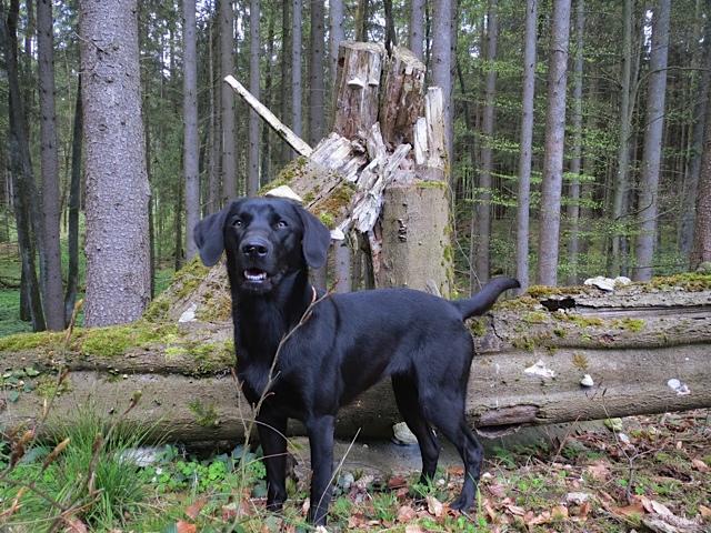 Miss Lomax ist ein schwarzer Labrador und gern im Wald unterwegs wie auch in ihrem eigenen Hundeblog www.flipper-privat.de den sie als Muse der Schriftstellerin Shirley Michaela Seul führ