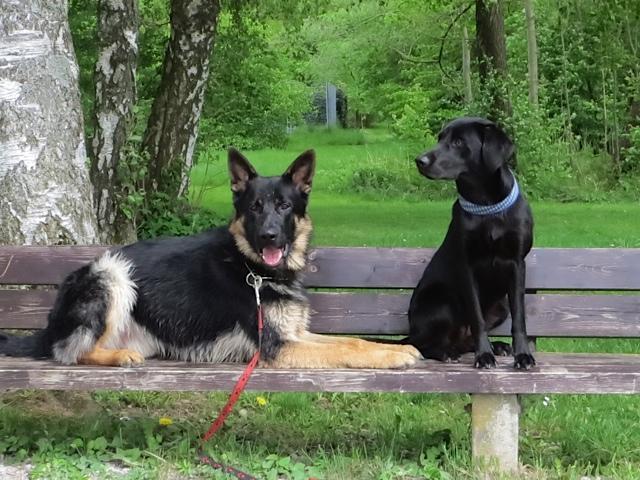 Der Labrador Miss Lomax der Schriftstellerin Shirley Michaela Seul, die auch einen Hundeblog führt unter www.flipper-privat.de sitzt mit seinem Freund, dem Schäferhund Chino, auf einer Parkbank am Starnberger See