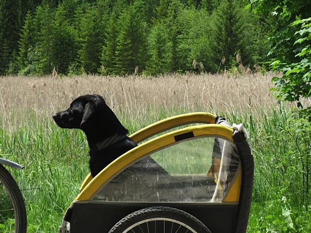 Im Fahrradanhänger lässt sich Miss Lomax, der schwarze Labrador von der Schriftstellerin Shirley Michaela Seul durch die schöne Gegend im Fünfseenland kutschieren, um als Muse der Schriftstellerin neue Eindrücke für Hundekrimis und andere Bücher zu sammeln und auch für den Blog www.flipper-privat.de Ideen zu sammeln