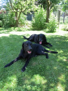 Miss Lomax, der schwarze Labrador der Schriftstellerin Shirley Michaela Seul, liegt mir ihrer Freundin, Blacky, die sie schon kannte, als sie noch Luna hieß und ihre Reinkarnation war als Muse, im Garten, wo die Autorin auch die Bücher der Flipper Serie um Felix, Franza und Flipper schreibt