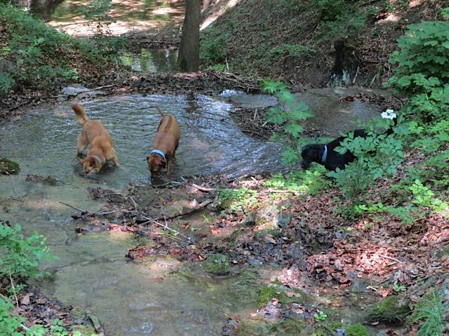 Drei Hunde in einem Bach, die Freundinnen von Miss Lomax, ein schwarzer Labrador, die Muse der Schriftstellerin Shirley Michaela Seul, sind ein Ridgeback und ein Schäferhund und sie haben alle dasselbe weißblaue Halsband, das schon einmal in dem Hundebog www.flipper-privat.de Thema war