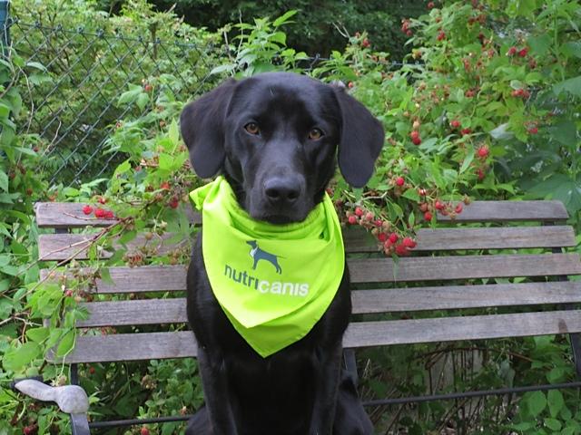 Miss Lomax, der schwarze Labrador der Schriftstellerin Shirley Michaela Seul, bekommt ein Lätzchen des Tierfutterherstellers nutricanis umgebunden, bevor es daran geht, Himbeeren zu ernten, die der Hund, der auch einen Blog führt, genauso gern frisst wie die getreidefreien Hundernährungsprodukte, damit er schön stark und gesund bleibt für den Blog den er unter www.flipper-privat.de führt