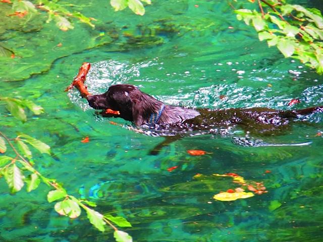 Wie ein Gemälde sieht dieses Bild aus, in dem der Hund der Autorin Seul schwimmt mit einem Stock im Maul im Landkreis Landsberg am Lech, wo die Schriftstellerin Shirley Michaela Seul neue Impressionen sammelt für ihre vielen Bücher, darunter auch Fünfseenlandkrimis, das sind Hundekrimis, zu denen sie sich von ihrer schwarzen Muse Miss Lomax inspirieren lässt, was auch Niederschlag findet in einem Hundeblog unter www.flipper-privat.de r