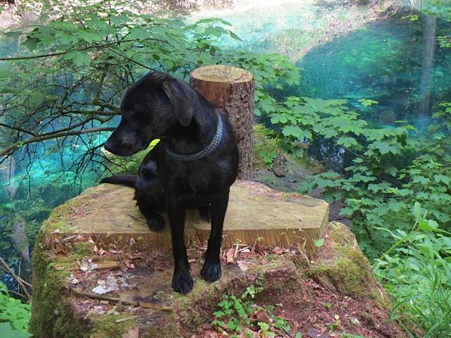 Wie ein Fotomodell sitzt Miss Lomax, der Labrador von der Schriftstellerin Shirley Michaela Seul im Landkreis Landsberg am Lech in malerischer Umgebung in der grünen Natur und sinniert über ihren neuen Blogeintrag im Hundeblog nach www.flipper-privat.de