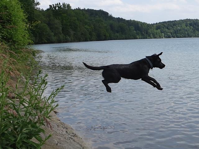 Ein Hund springt ins Wasser, es ist Miss Lomax, ein schwarzer Labrador, der der Schriftstellerin Michaela Seul gehört, die einen Hundeblog führt unter der Adresse www.flipper-privat.de und auch einmal in Landsberg am Lech gewohnt hat