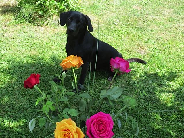 Der Labrador Miss Lomax, der auch einen Hundeblog führt in seiner Eigenschaft als Muse der Autorin Shirley Michaela Seul sitzt im grünen Gras vor einem sehr schönen Rosenstrauch und denkt über das Buch Luna Seelengefährtin sowie über Franza, Felix und Flipper nach.