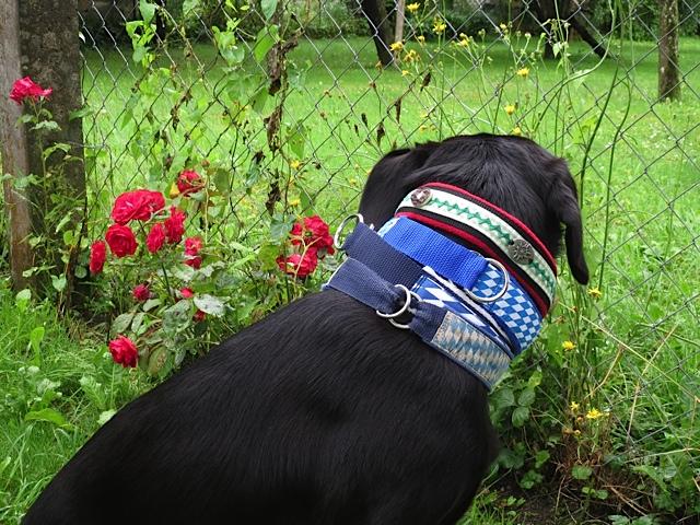 Vier Halsbänder trägt der Hund der Schriftstellerin Michaela Seul namens Miss Lomax, der auch einen Hundeblog unter www.flipper-privat.de führt, hier um den Hals, der unterhalb seines Gehirns sitzt, in dem sich die Muse spannende Krimis und andere Bücher ausdenkt, die oft im Fünfseenland bei München spielen