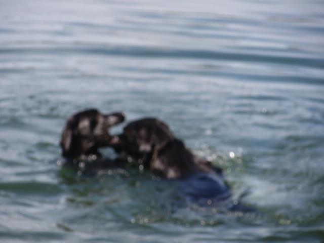 Zwei schwarze Labradore schwimmen im Wasser und kämpfen um ein Stöckchen, wer wird gewinnen, ist es Miss Lomax, die Muse der Schriftstellerin Shirley MIchaela Seul, die hier ihren Blog www-flipper-privat.de verteidigt