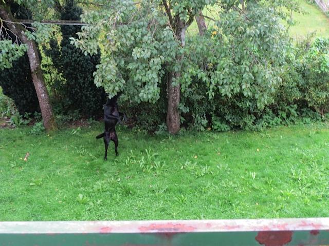 Auch Hunden schmecken Zwetschgen, wie man hier an Miss Lomax sieht, die Früchte erntet aus dem Garten ihres Frauchens Shirley Michaela Seul, die als Schriftstellerin auch einen Hundeblog führt unter www.flipper-privat.de